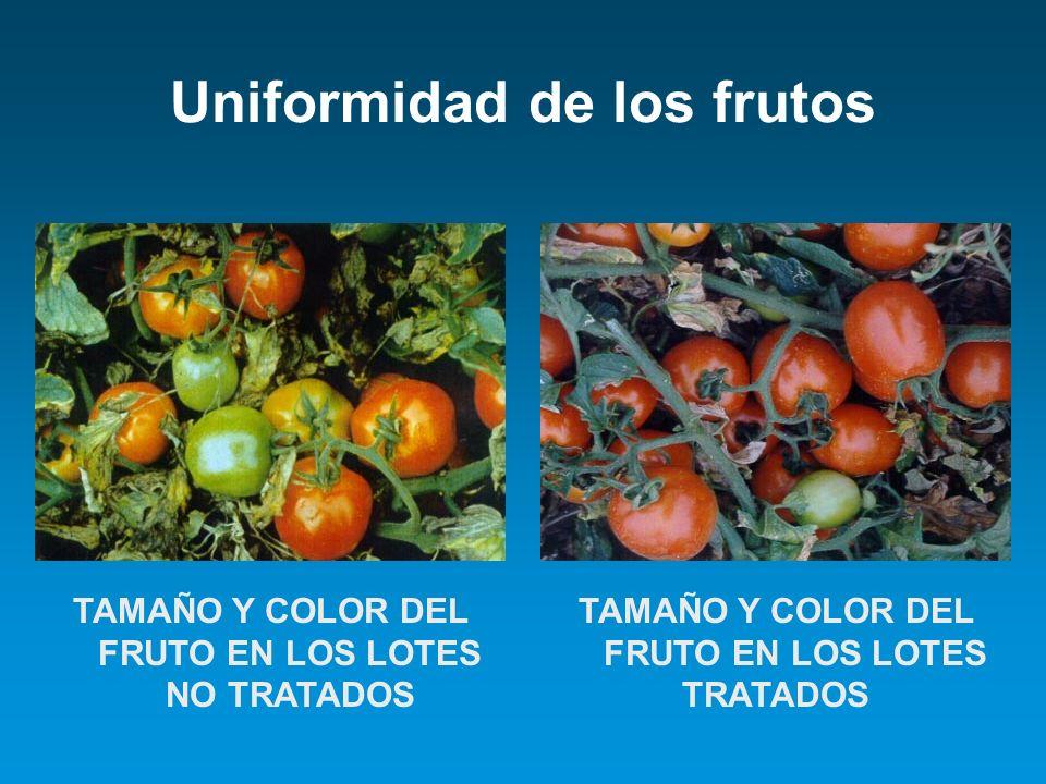Uniformidad de los frutos TAMAÑO Y COLOR DEL FRUTO EN LOS LOTES NO TRATADOS TAMAÑO Y COLOR DEL FRUTO EN LOS LOTES TRATADOS