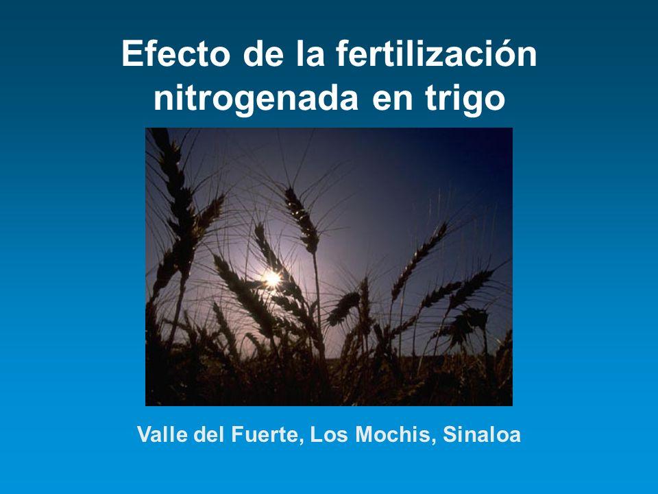 Efecto de la fertilización nitrogenada en trigo Valle del Fuerte, Los Mochis, Sinaloa