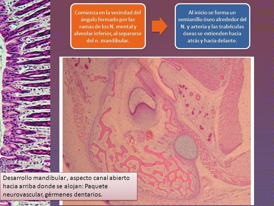 Comienza en la vecindad del ángulo formado por las ramas de los N. mental y alveolar inferior, al separarse del n. mandibular. Al inicio se forma un s