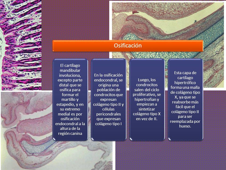 Osificación El cartílago mandibular involuciona, excepto parte distal que se osifica para formar el martillo y estapedio, y en su extremo medial es po