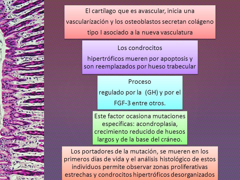 El cartílago que es avascular, inicia una vascularízación y los osteoblastos secretan colágeno tipo I asociado a la nueva vasculatura Los condrocitos