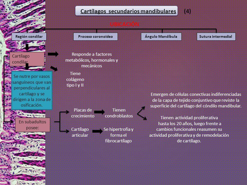 Cartílagos secundarios mandibulares (4) UBICACIÓN Proceso coronoideoRegión condilarÁngulo MandíbulaSutura intermedial Cartílago condilar Cartílago art