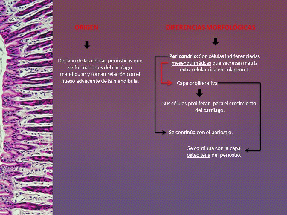 ORIGEN DIFERENCIAS MORFOLÓGICAS Derivan de las células periósticas que se forman lejos del cartílago mandibular y toman relación con el hueso adyacent