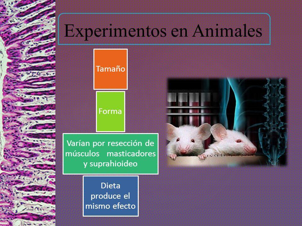 Experimentos en Animales Tamaño Forma Varían por resección de músculos masticadores y suprahioideo Dieta produce el mismo efecto