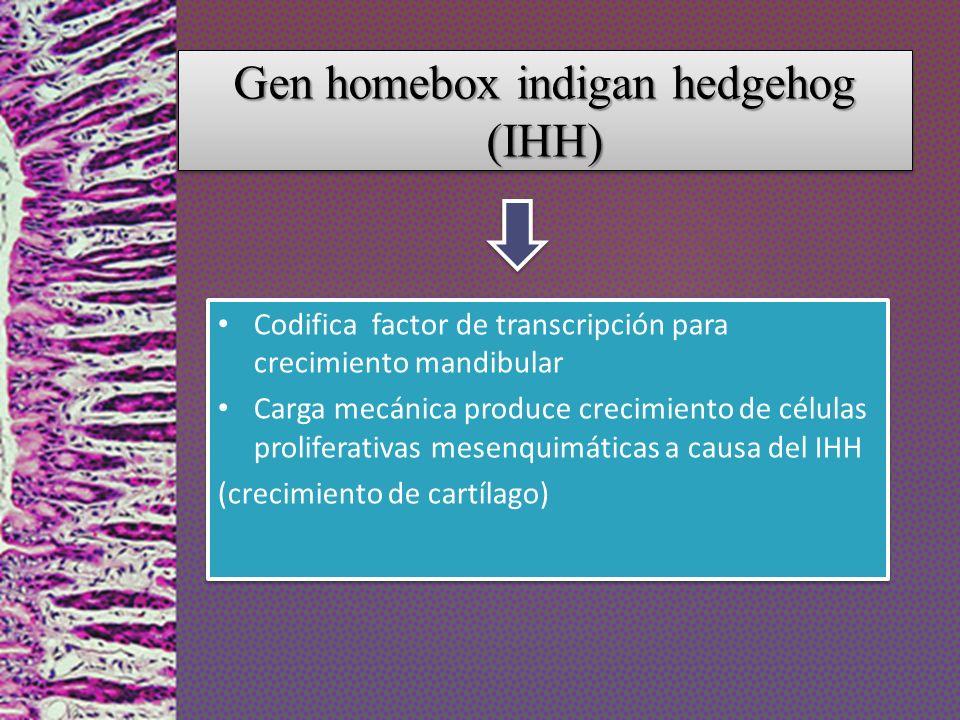 Gen homebox indigan hedgehog (IHH) Codifica factor de transcripción para crecimiento mandibular Carga mecánica produce crecimiento de células prolifer