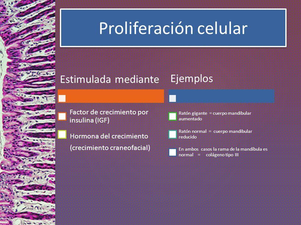 Proliferación celular Estimulada mediante Factor de crecimiento por insulina (IGF) Hormona del crecimiento (crecimiento craneofacial) Ejemplos Ratón g