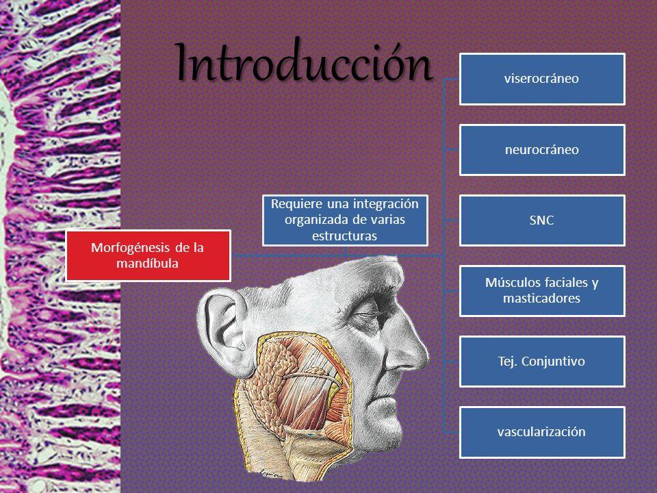 Introducción Morfogénesis de la mandíbula viserocráneo neurocráneo SNC Músculos faciales y masticadores Tej. Conjuntivo vascularización Requiere una i