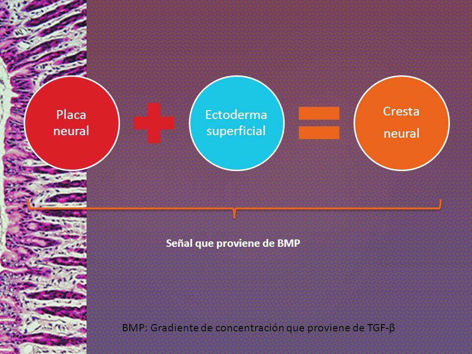 Placa neural Ectoderma superficial Cresta neural Señal que proviene de BMP BMP: Gradiente de concentración que proviene de TGF-β