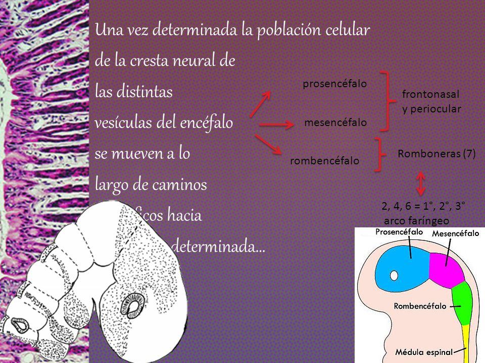 Una vez determinada la población celular de la cresta neural de las distintas vesículas del encéfalo se mueven a lo largo de caminos específicos hacia