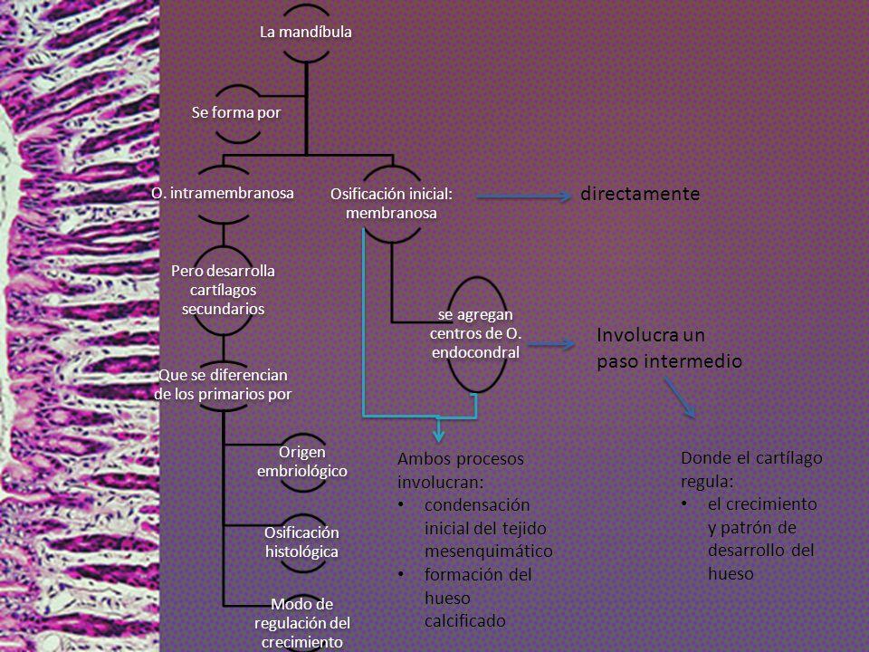 La mandíbula O. intramembranosa Pero desarrolla cartílagos secundarios Que se diferencian de los primarios por Origen embriológico Osificación histoló