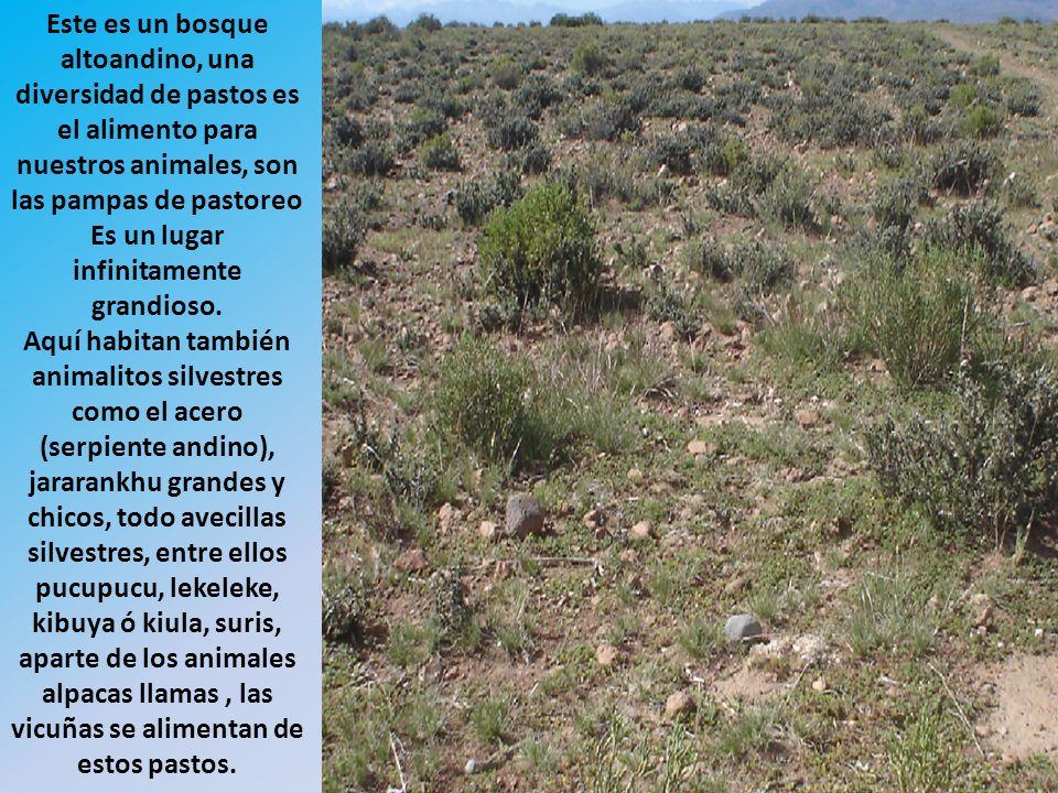 Este es un bosque altoandino, una diversidad de pastos es el alimento para nuestros animales, son las pampas de pastoreo Es un lugar infinitamente grandioso.