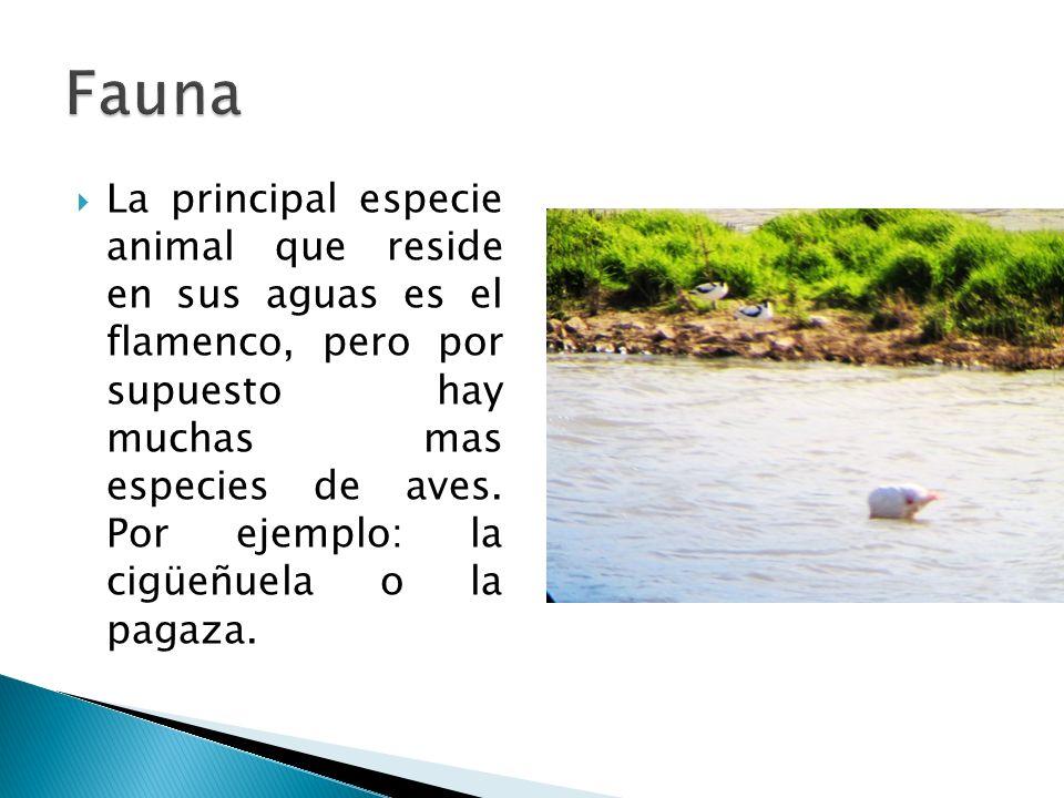 La principal especie animal que reside en sus aguas es el flamenco, pero por supuesto hay muchas mas especies de aves.