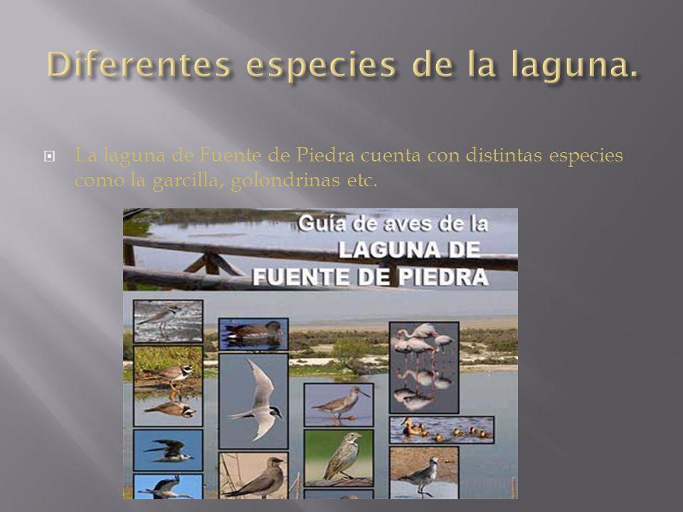 La laguna de Fuente de Piedra cuenta con distintas especies como la garcilla, golondrinas etc.