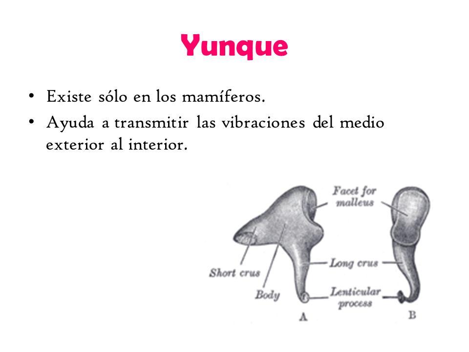 Yunque Existe sólo en los mamíferos. Ayuda a transmitir las vibraciones del medio exterior al interior.