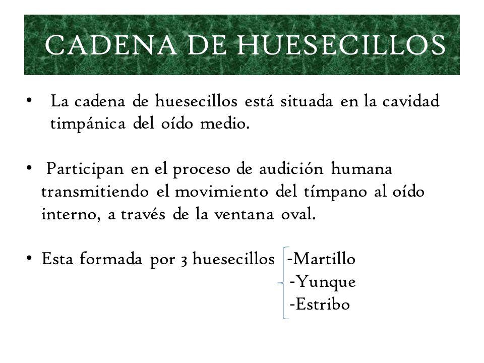 CADENA DE HUESECILLOS La cadena de huesecillos está situada en la cavidad timpánica del oído medio. Participan en el proceso de audición humana transm