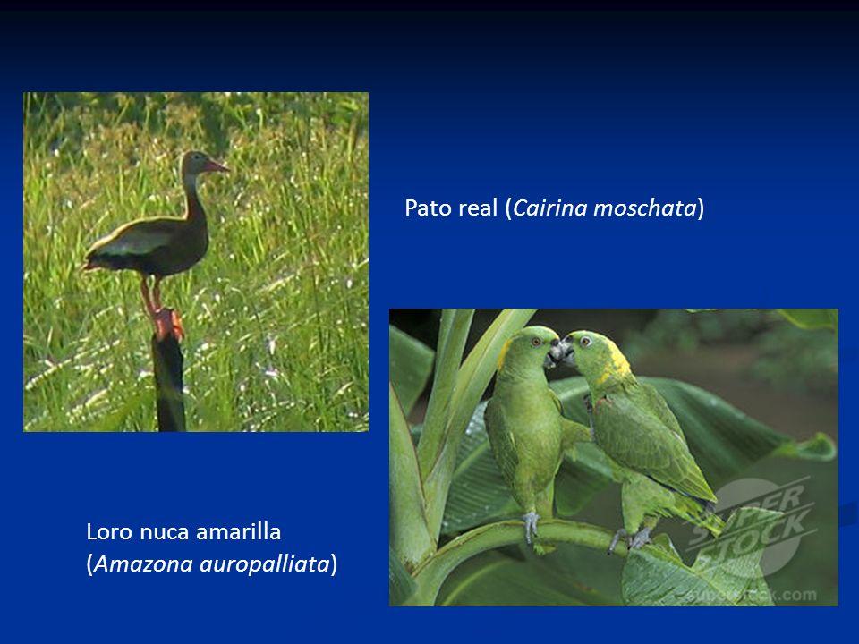 Pato real (Cairina moschata) Loro nuca amarilla (Amazona auropalliata)