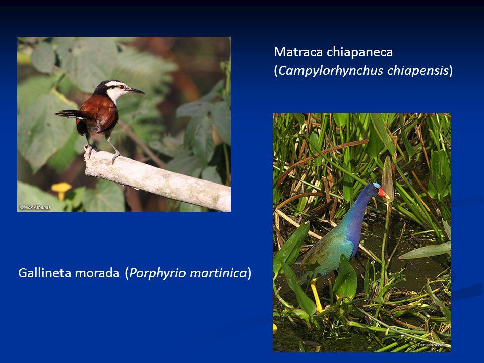 Gallineta morada (Porphyrio martinica) Matraca chiapaneca (Campylorhynchus chiapensis)