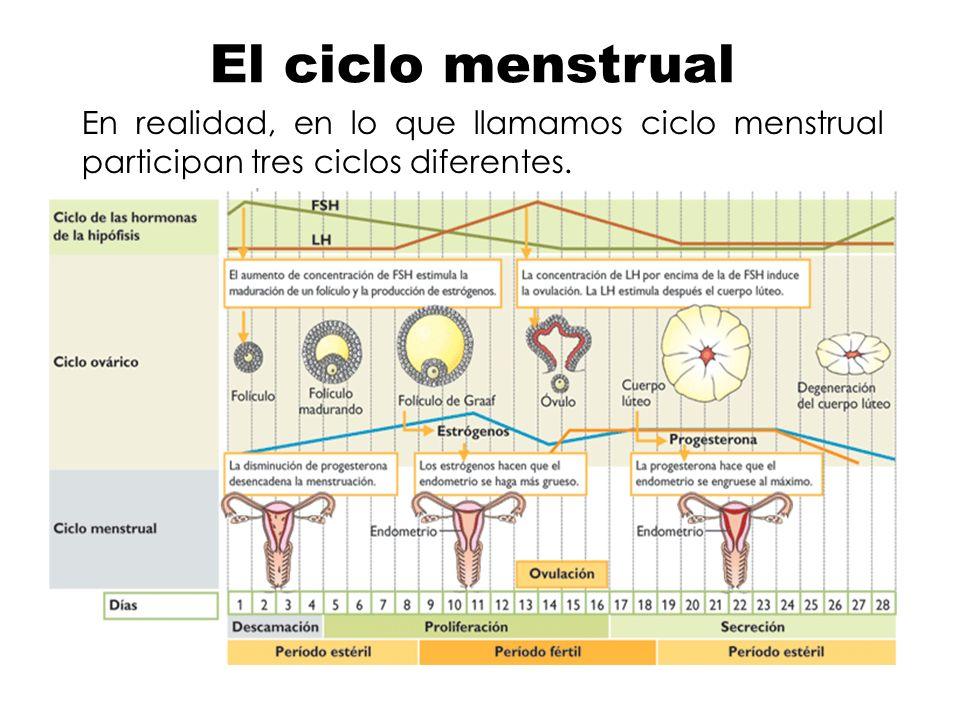 En realidad, en lo que llamamos ciclo menstrual participan tres ciclos diferentes. El ciclo menstrual