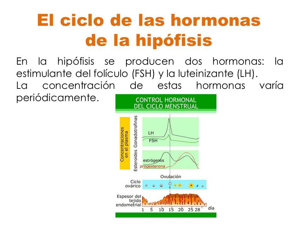 El ciclo de las hormonas de la hipófisis En la hipófisis se producen dos hormonas: la estimulante del folículo (FSH) y la luteinizante (LH). La concen