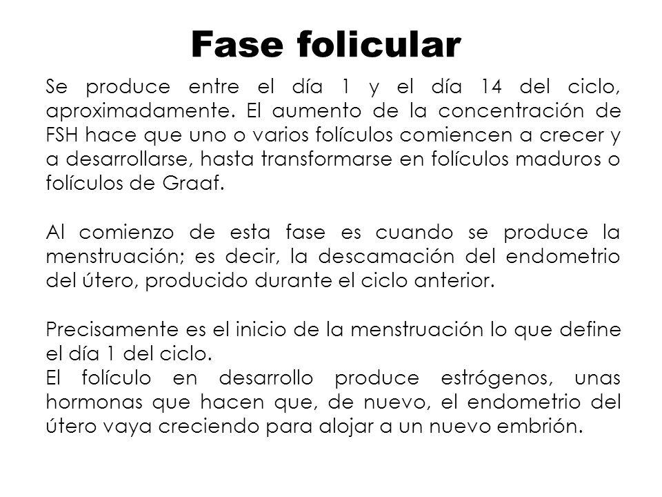 Fase folicular Se produce entre el día 1 y el día 14 del ciclo, aproximadamente. El aumento de la concentración de FSH hace que uno o varios folículos