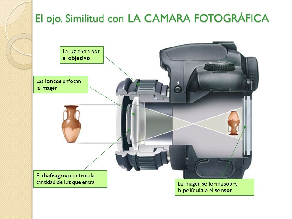La luz entra por la córnea El iris controla la cantidad de luz La pupila aumenta o disminuye según la luz La imagen invertida se forma en la retina El