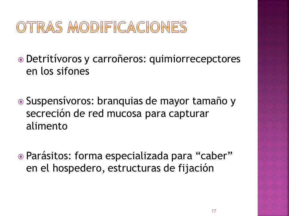 Detritívoros y carroñeros: quimiorrecepctores en los sifones Suspensívoros: branquias de mayor tamaño y secreción de red mucosa para capturar alimento
