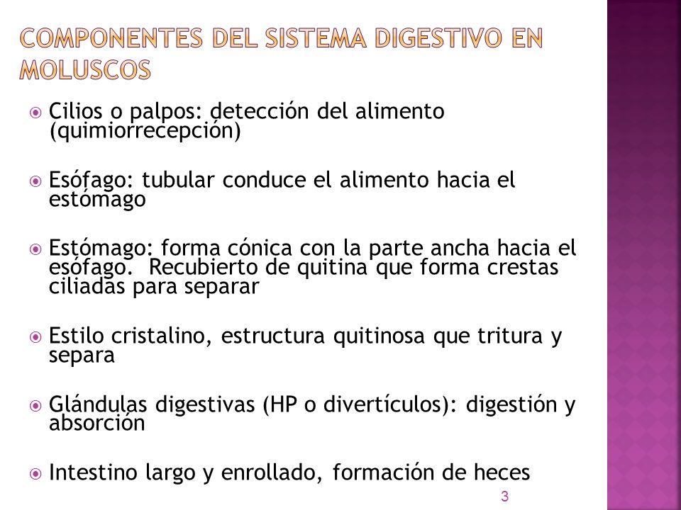 Cilios o palpos: detección del alimento (quimiorrecepción) Esófago: tubular conduce el alimento hacia el estómago Estómago: forma cónica con la parte