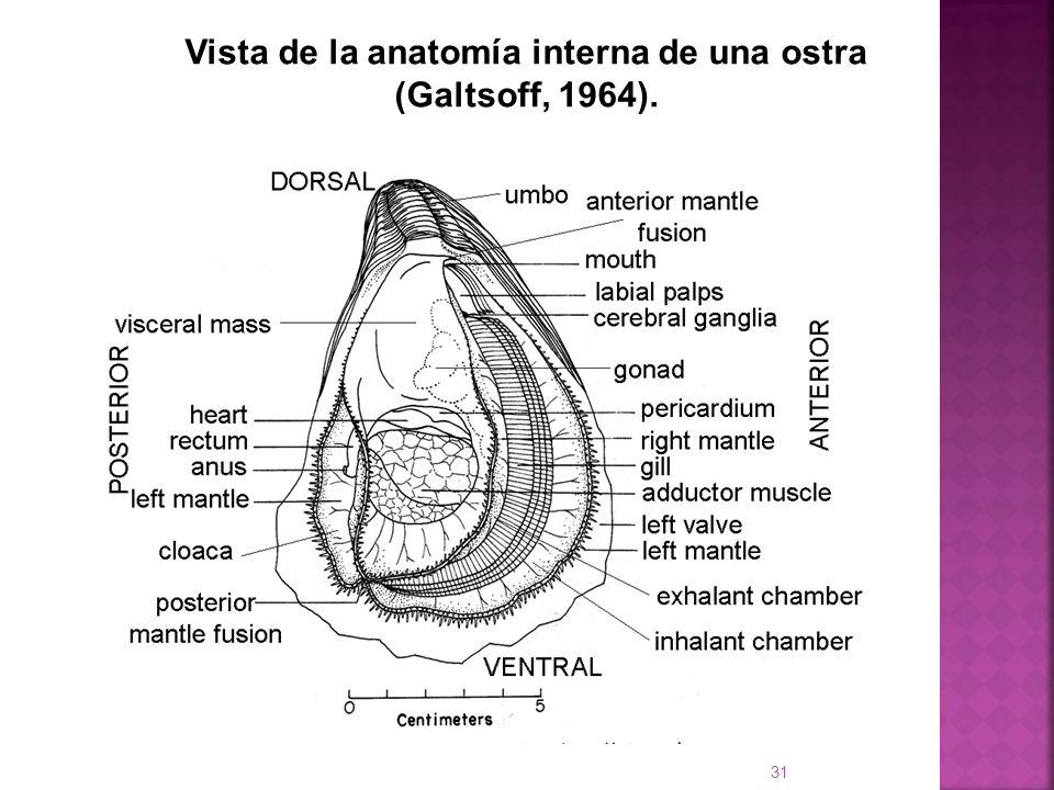Vista de la anatomía interna de una ostra (Galtsoff, 1964). 31