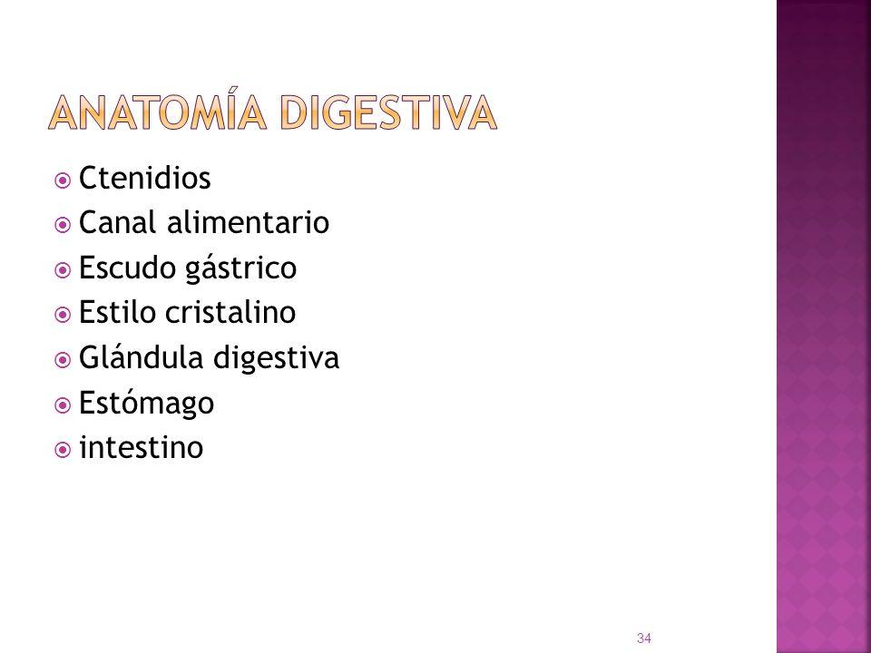 Ctenidios Canal alimentario Escudo gástrico Estilo cristalino Glándula digestiva Estómago intestino 34