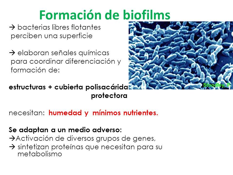 Formación de biofilms bacterias libres flotantes perciben una superficie elaboran señales químicas para coordinar diferenciación y formación de: estructuras + cubierta polisacárida protectora necesitan: humedad y mínimos nutrientes.