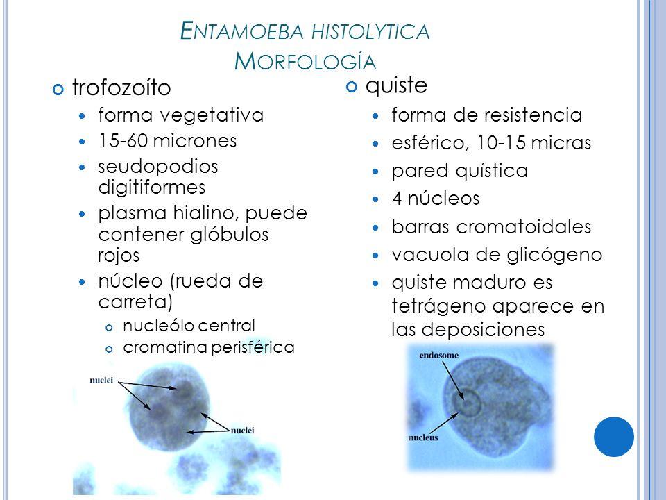 E NTAMOEBA HISTOLYTICA M ORFOLOGÍA trofozoíto forma vegetativa 15-60 micrones seudopodios digitiformes plasma hialino, puede contener glóbulos rojos núcleo (rueda de carreta) nucleólo central cromatina perisférica quiste forma de resistencia esférico, 10-15 micras pared quística 4 núcleos barras cromatoidales vacuola de glicógeno quiste maduro es tetrágeno aparece en las deposiciones