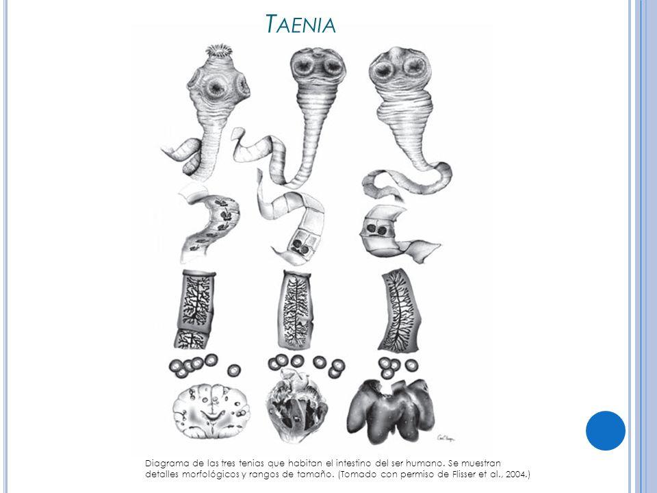 T AENIA Diagrama de las tres tenias que habitan el intestino del ser humano.