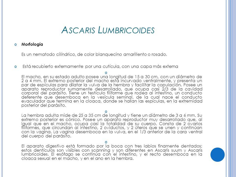 A SCARIS L UMBRICOIDES Morfología Es un nematodo cilíndrico, de color blanquecino amarillento o rosado.