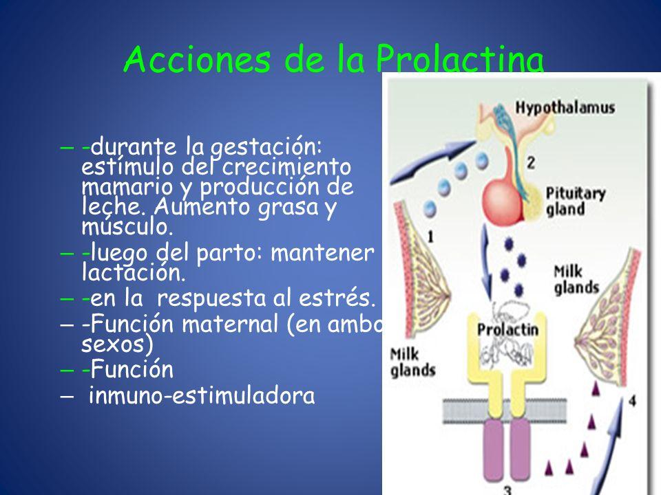 Acciones de la Prolactina – -durante la gestación: estímulo del crecimiento mamario y producción de leche. Aumento grasa y músculo. – -luego del parto