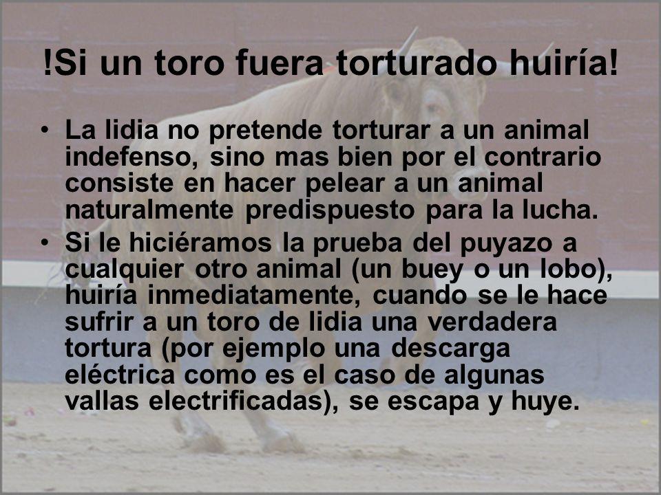 !Si un toro fuera torturado huiría! La lidia no pretende torturar a un animal indefenso, sino mas bien por el contrario consiste en hacer pelear a un