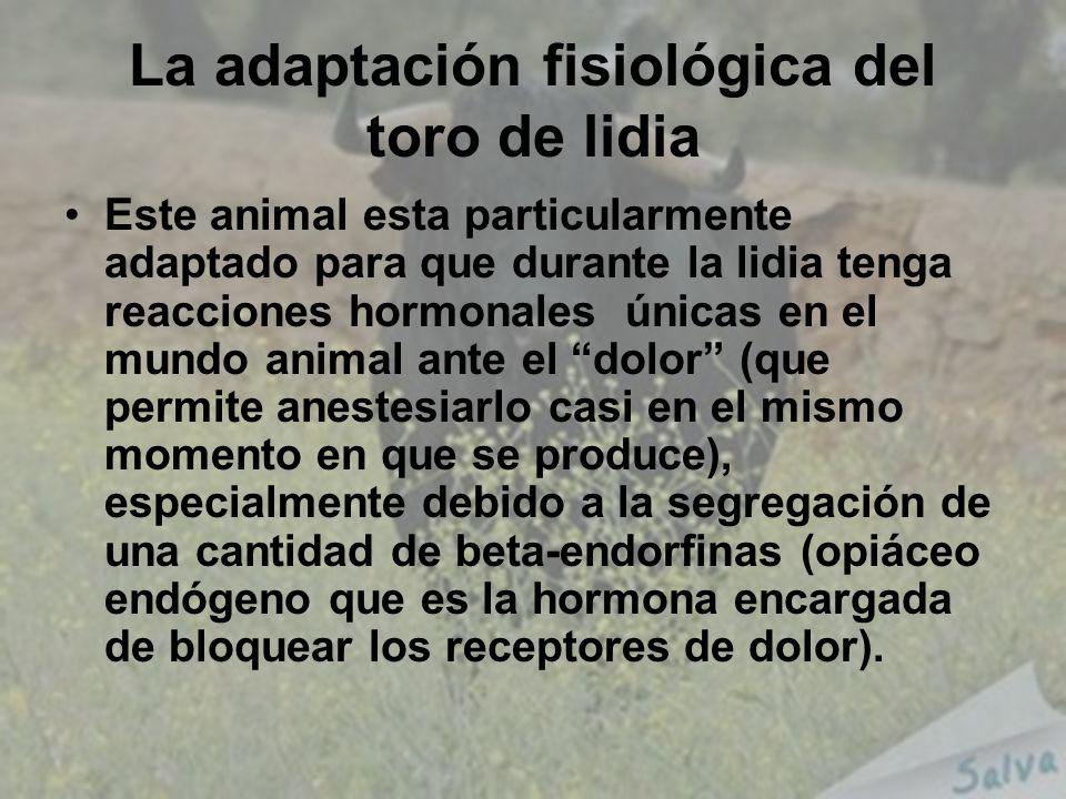 La adaptación fisiológica del toro de lidia Este animal esta particularmente adaptado para que durante la lidia tenga reacciones hormonales únicas en