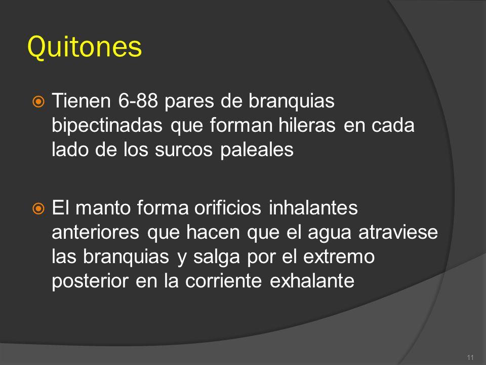 Quitones Tienen 6-88 pares de branquias bipectinadas que forman hileras en cada lado de los surcos paleales El manto forma orificios inhalantes anteri