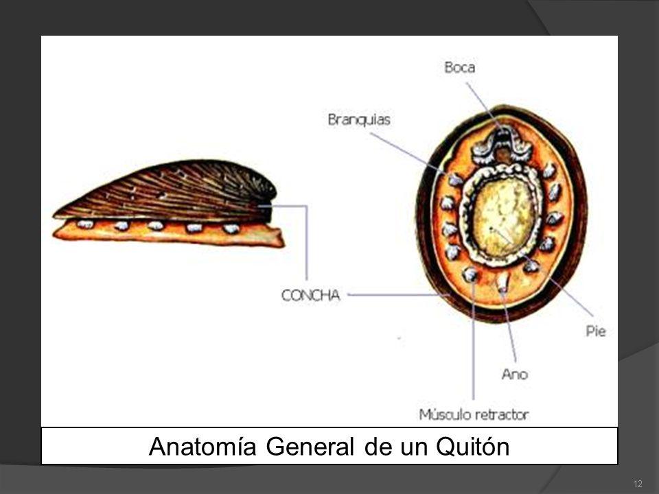 12 Anatomía General de un Quitón