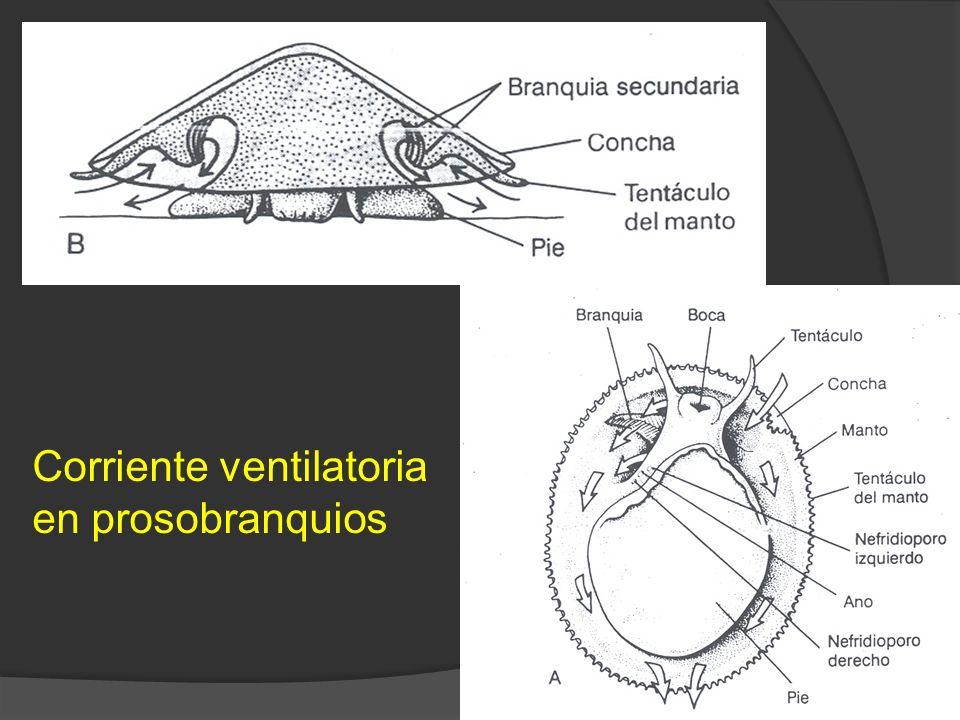 19 Corriente ventilatoria en prosobranquios