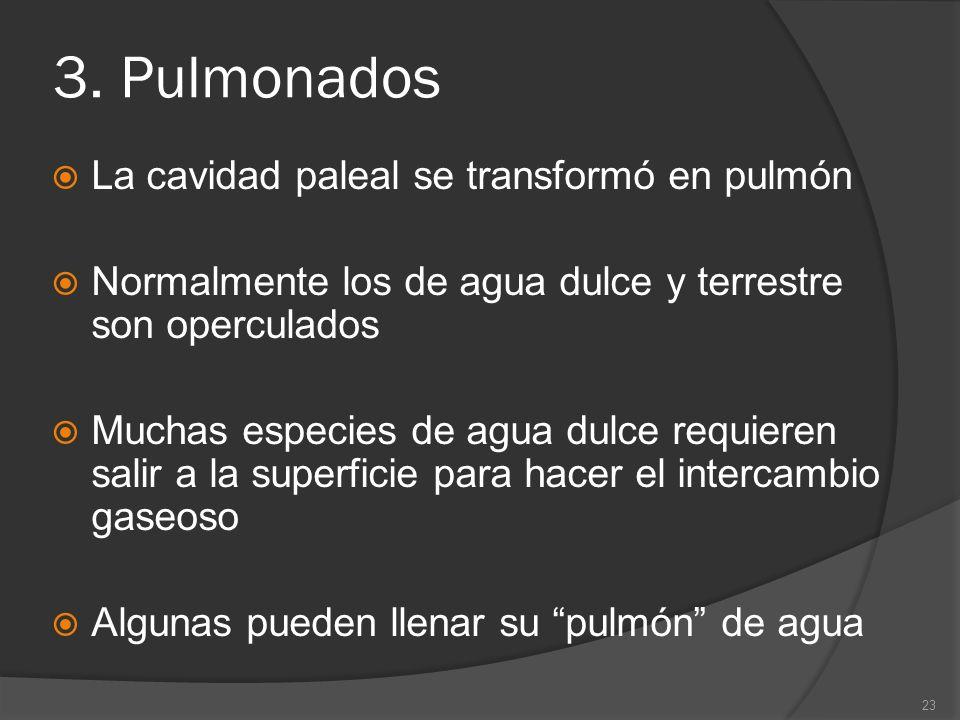 3. Pulmonados La cavidad paleal se transformó en pulmón Normalmente los de agua dulce y terrestre son operculados Muchas especies de agua dulce requie