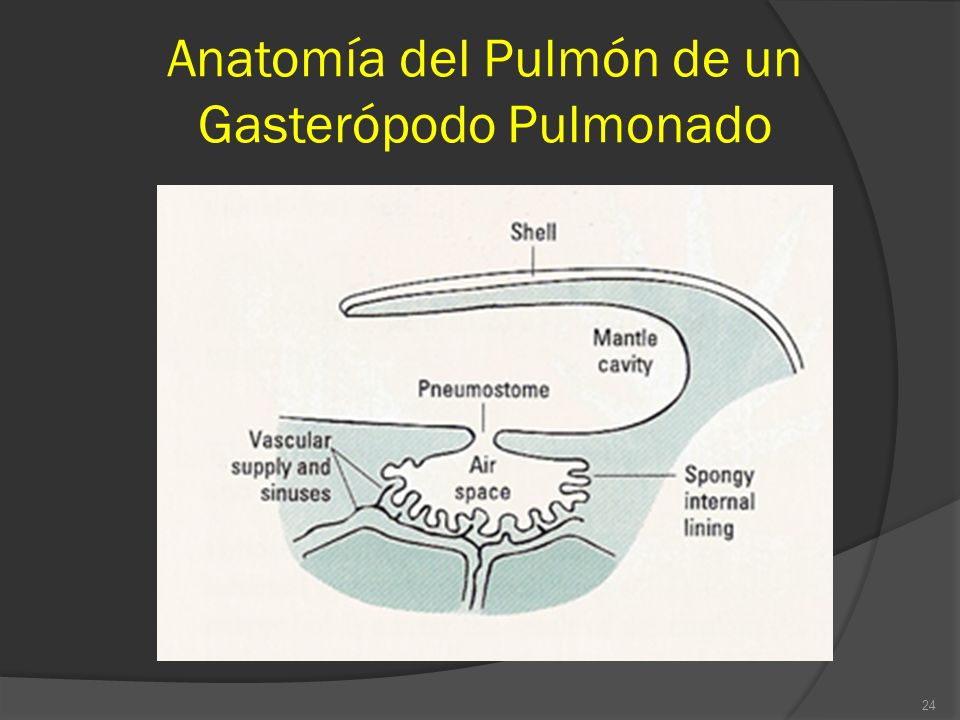 Anatomía del Pulmón de un Gasterópodo Pulmonado 24