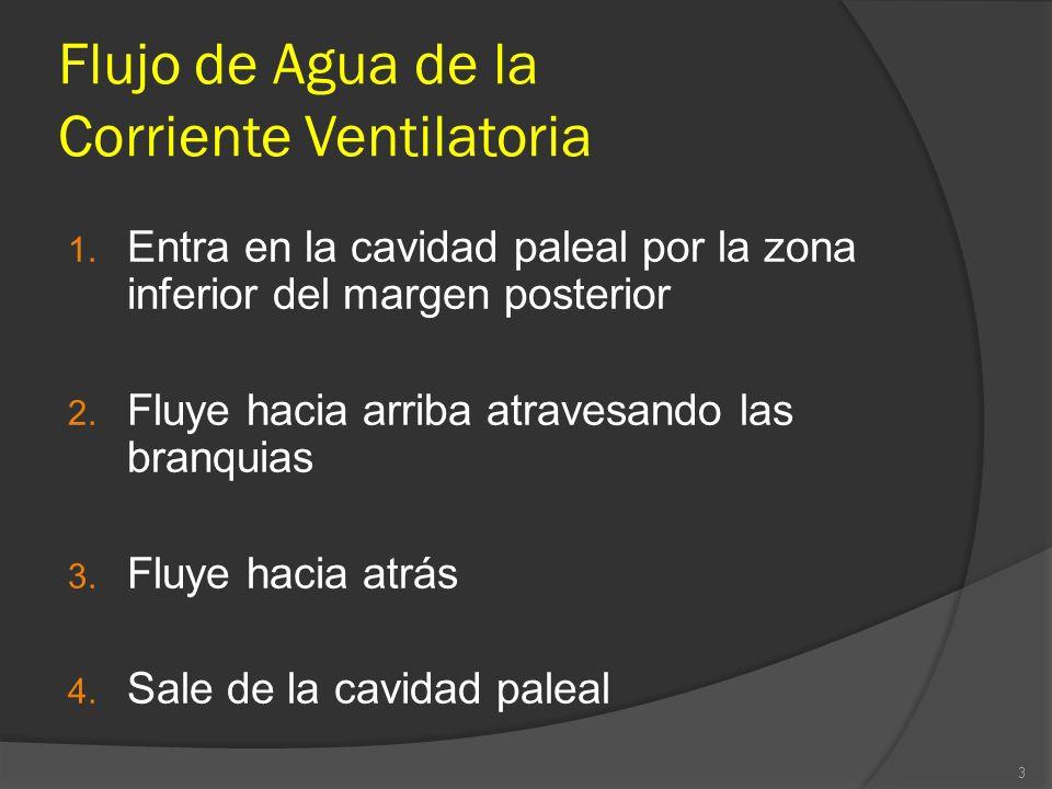Flujo de Agua de la Corriente Ventilatoria 1. Entra en la cavidad paleal por la zona inferior del margen posterior 2. Fluye hacia arriba atravesando l