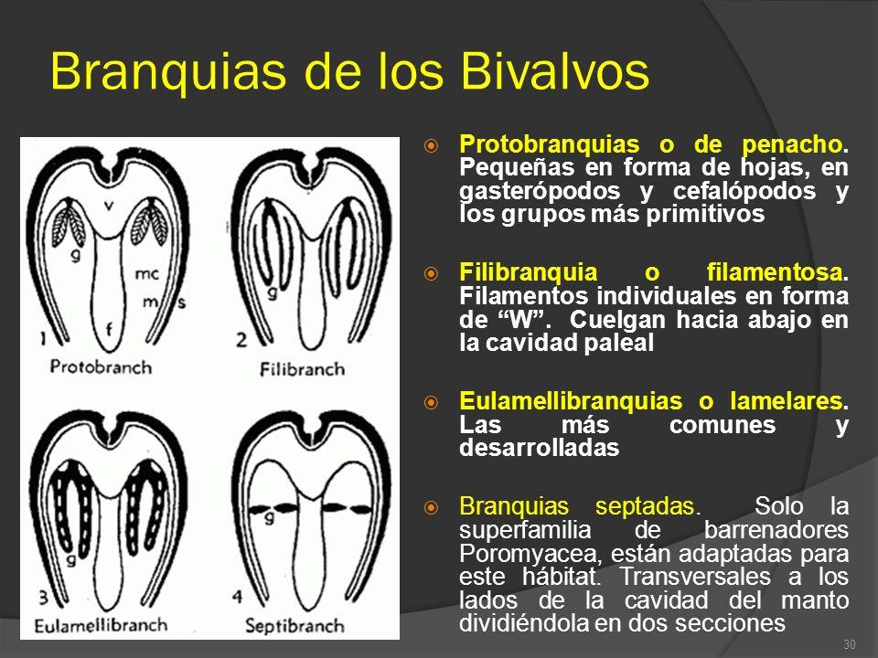 Branquias de los Bivalvos Protobranquias o de penacho. Pequeñas en forma de hojas, en gasterópodos y cefalópodos y los grupos más primitivos Filibranq