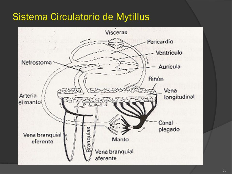 Sistema Circulatorio de Mytillus 35