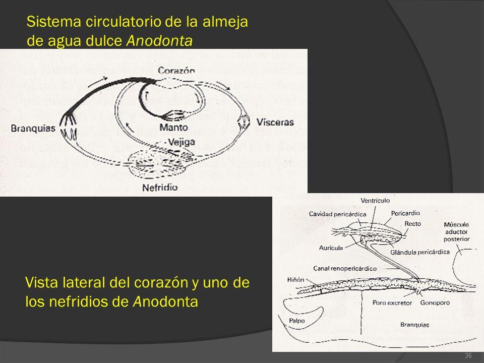 Sistema circulatorio de la almeja de agua dulce Anodonta 36 Vista lateral del corazón y uno de los nefridios de Anodonta