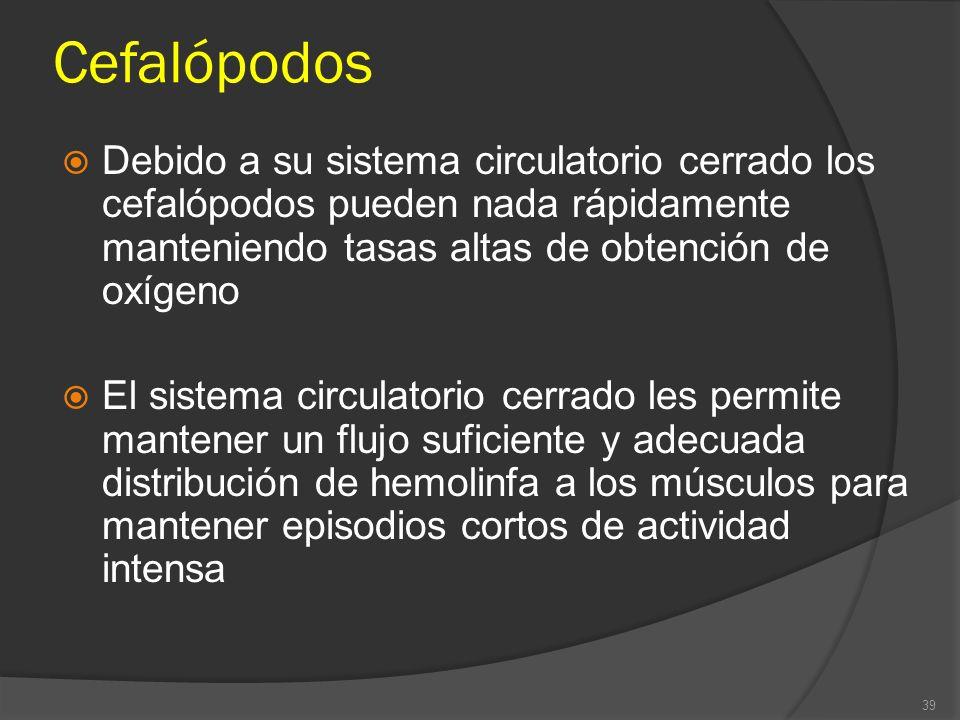 Cefalópodos Debido a su sistema circulatorio cerrado los cefalópodos pueden nada rápidamente manteniendo tasas altas de obtención de oxígeno El sistem