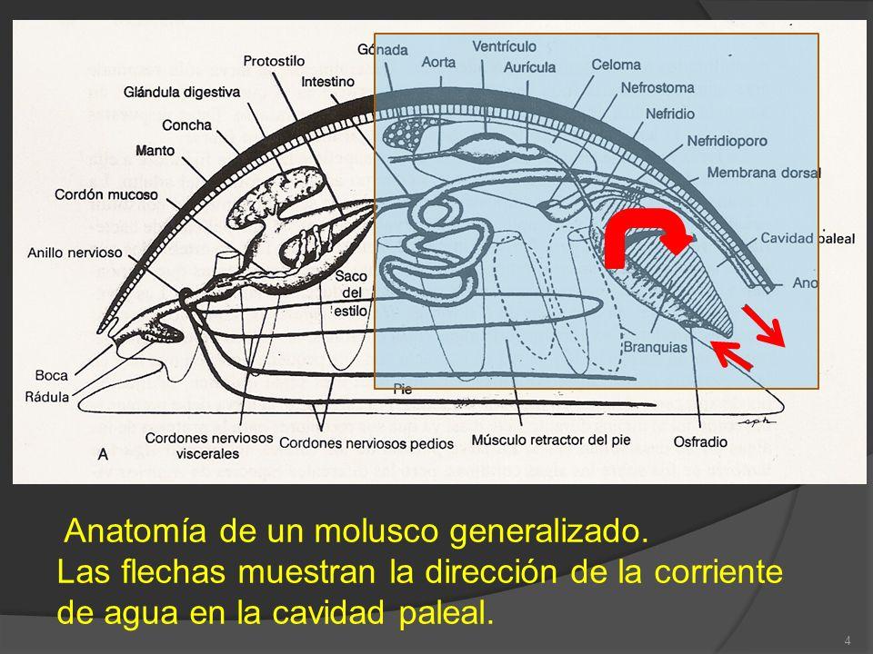 Anatomía de un molusco generalizado. Las flechas muestran la dirección de la corriente de agua en la cavidad paleal. 4