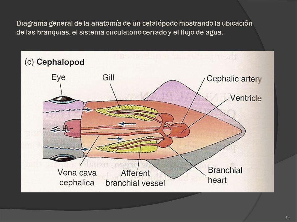 Diagrama general de la anatomía de un cefalópodo mostrando la ubicación de las branquias, el sistema circulatorio cerrado y el flujo de agua. 40