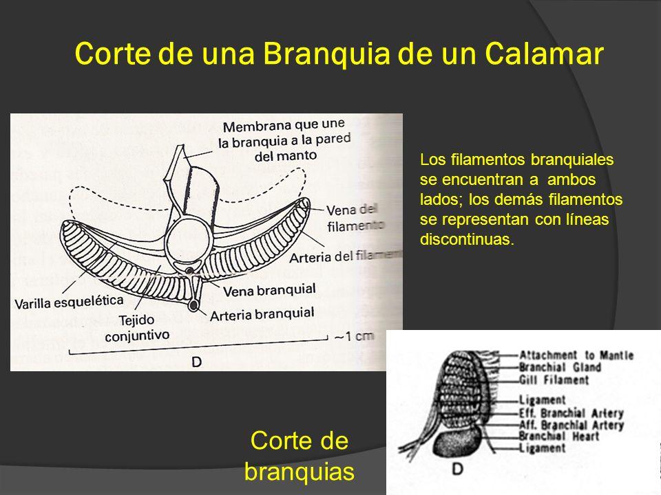 Corte de una Branquia de un Calamar 43 Corte de branquias Los filamentos branquiales se encuentran a ambos lados; los demás filamentos se representan