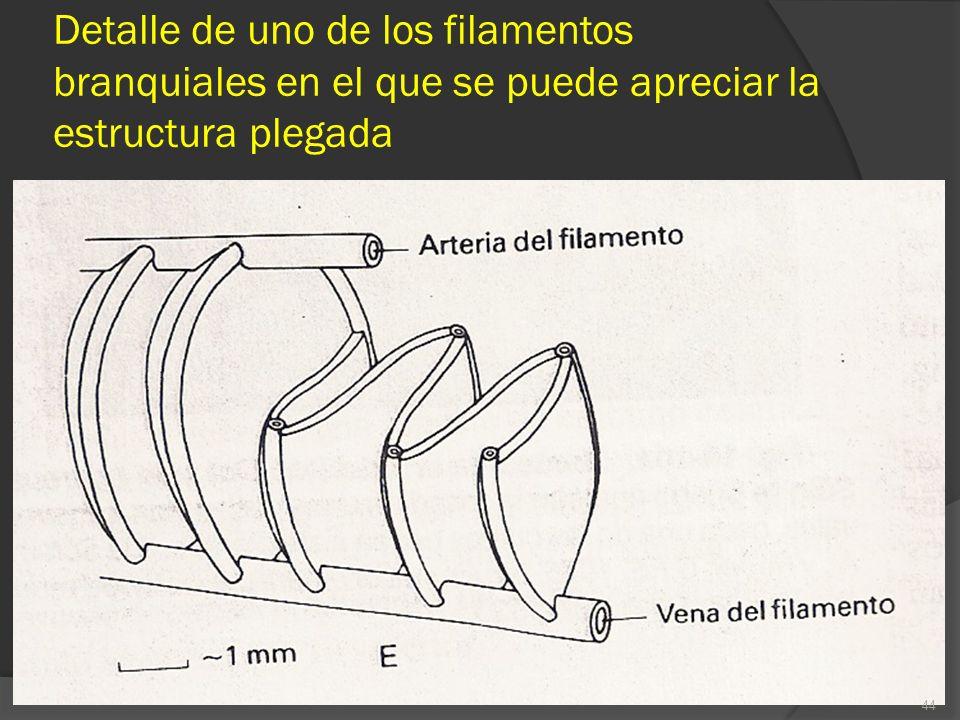 Detalle de uno de los filamentos branquiales en el que se puede apreciar la estructura plegada 44